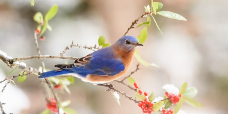 Red breasted bluebird